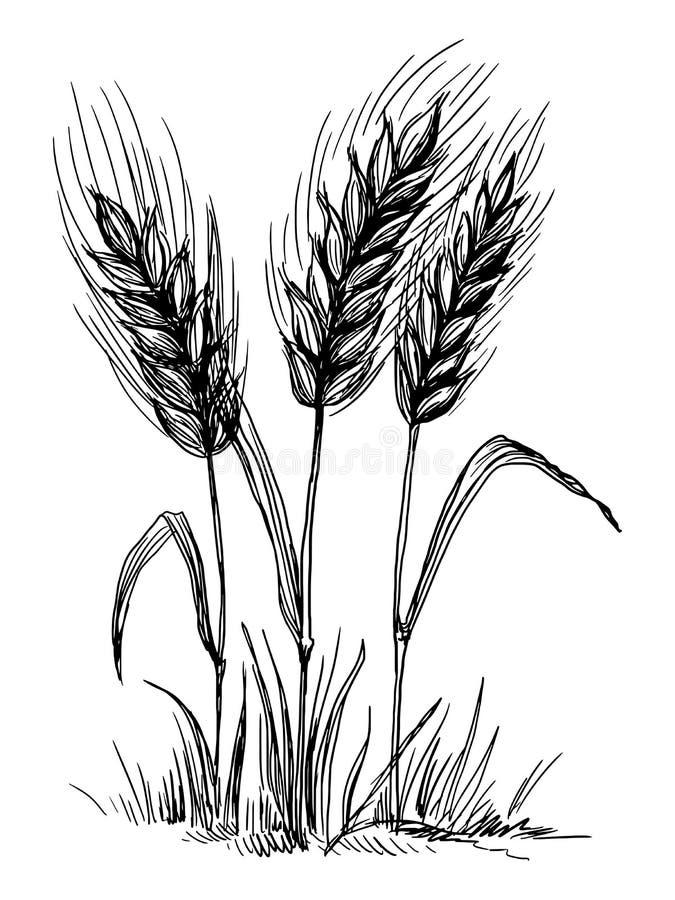 Orecchie del frumento isolate su priorità bassa bianca illustrazione di stock