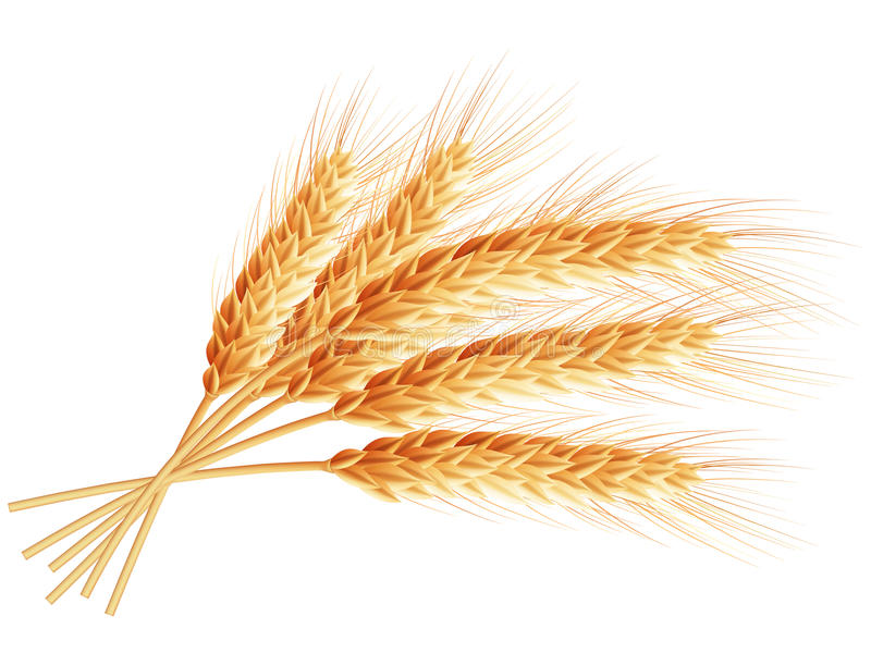 Orecchie del frumento isolate su priorità bassa bianca ENV 10 illustrazione vettoriale