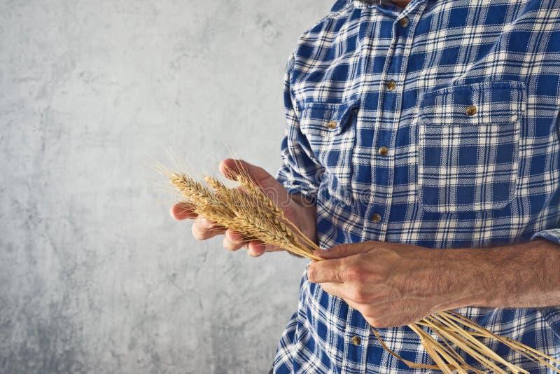 Orecchie del grano della tenuta dell'agricoltore fotografia stock