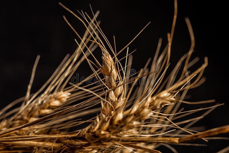 Orecchie del grano isolate su fondo nero fotografie stock libere da diritti