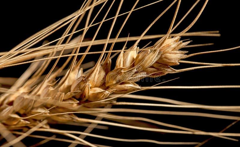 Orecchie del grano isolate su fondo nero fotografie stock
