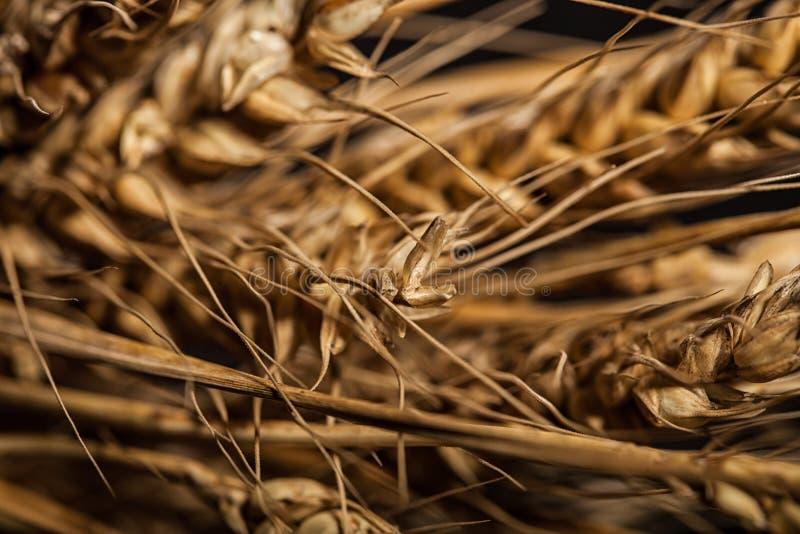 Orecchie del grano isolate su fondo nero immagine stock libera da diritti