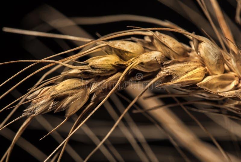 Orecchie del grano isolate su fondo nero immagini stock