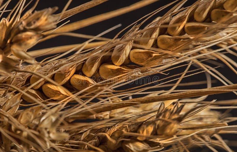 Orecchie del grano isolate su fondo nero fotografia stock libera da diritti