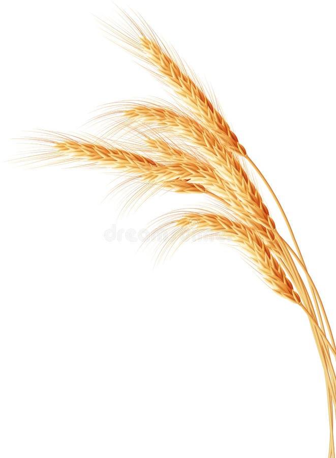 Orecchie del grano isolate sui precedenti bianchi royalty illustrazione gratis