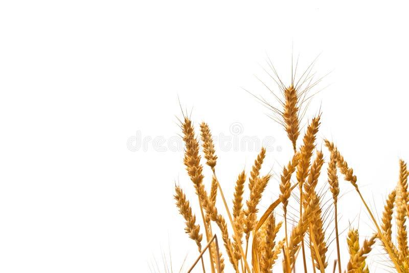 Orecchie del grano nel campo su fondo bianco immagini stock