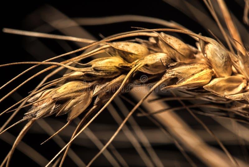 Orecchie del grano su fondo nero fotografia stock libera da diritti