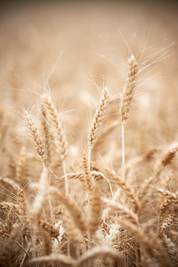 Orecchie del raccolto di grano del grano sul campo immagini stock libere da diritti