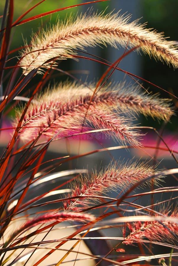 Orecchie dell'erba immagine stock