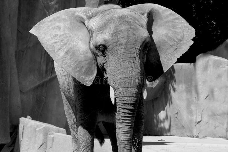 Orecchie di elefante fotografia stock