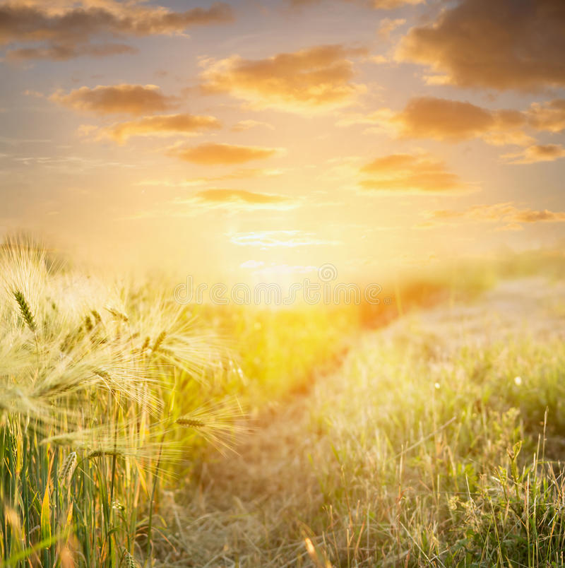 Orecchie di grano al tramonto contro il bello cielo, fondo della natura immagine stock