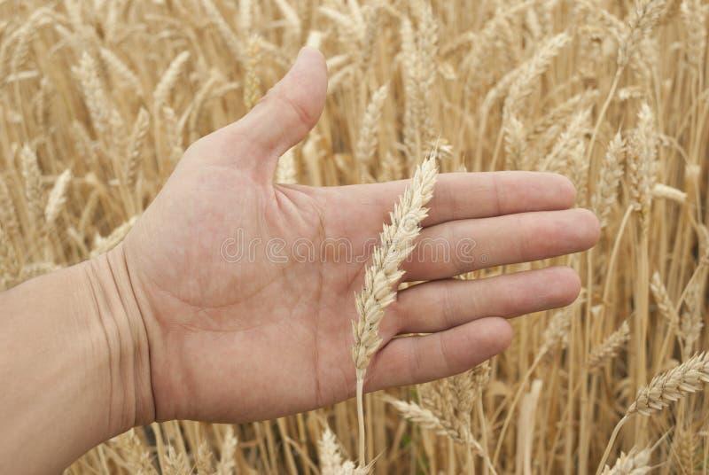 Orecchie di grano a disposizione fotografia stock