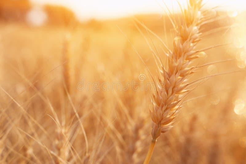 Orecchie di grano dorato nel campo alla luce di tramonto fotografia stock