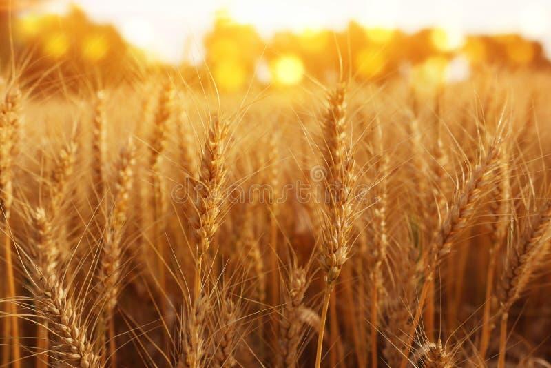 Orecchie di grano dorato nel campo alla luce di tramonto immagine stock libera da diritti