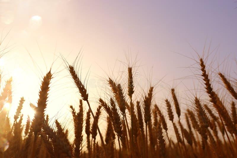 Orecchie di grano dorato nel campo alla luce di tramonto fotografie stock