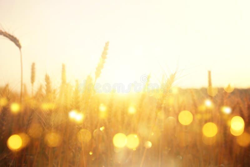 Orecchie di grano dorato nel campo alla luce di tramonto Sovrapposizione brillante di scintillio fotografia stock