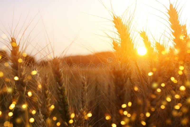 Orecchie di grano dorato nel campo alla luce di tramonto sovrapposizione di scintillio fotografia stock