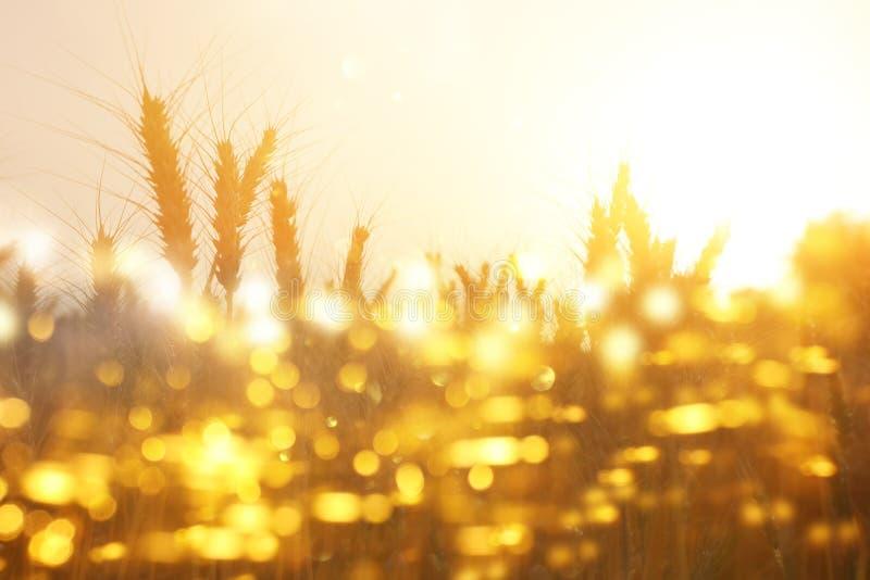 Orecchie di grano dorato nel campo alla luce di tramonto sovrapposizione di scintillio fotografie stock
