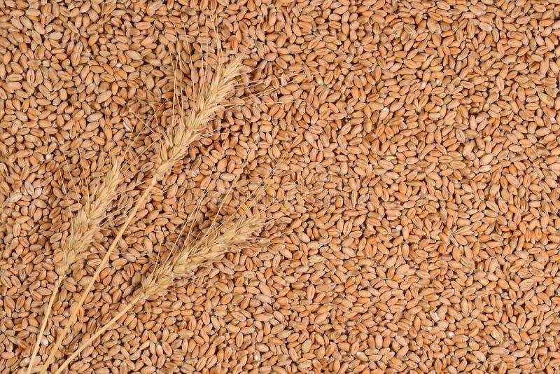 Orecchie di grano sui grani di un grano fotografia stock