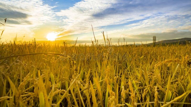 Orecchie di maturazione del giacimento di grano giallo al tramonto fotografia stock libera da diritti