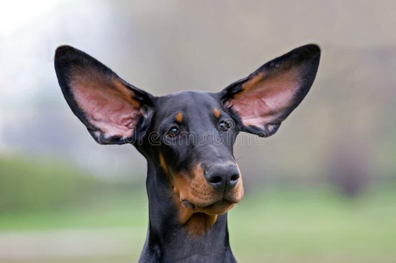 Orecchie di volo del cane nero fotografia stock libera da diritti