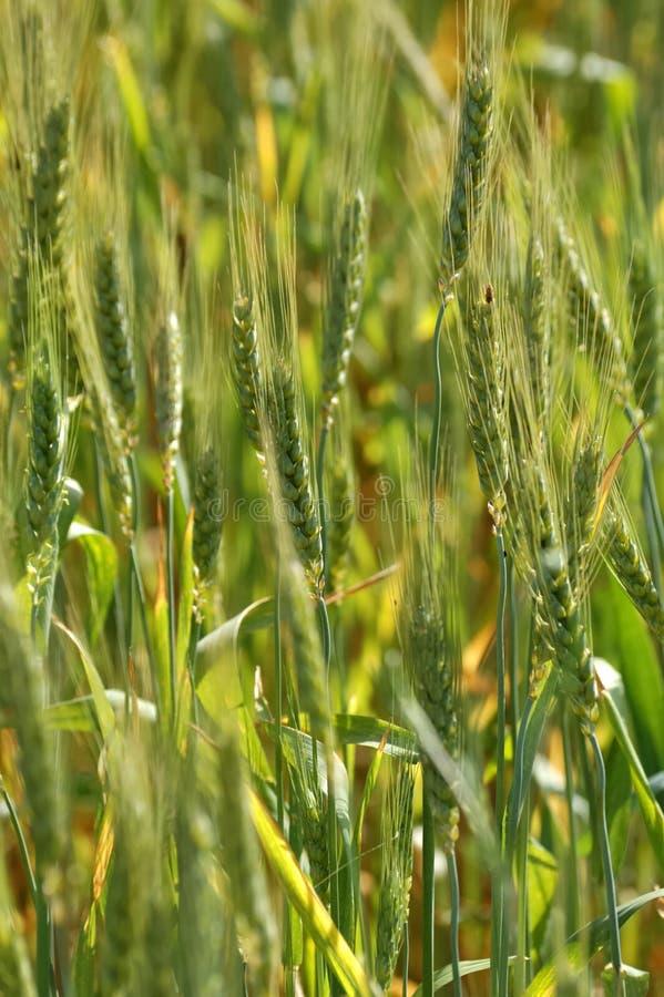 Orecchie verdi del grano immagine stock libera da diritti