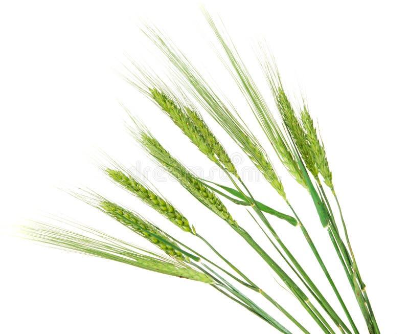 Orecchie verdi di grano isolate fotografie stock libere da diritti