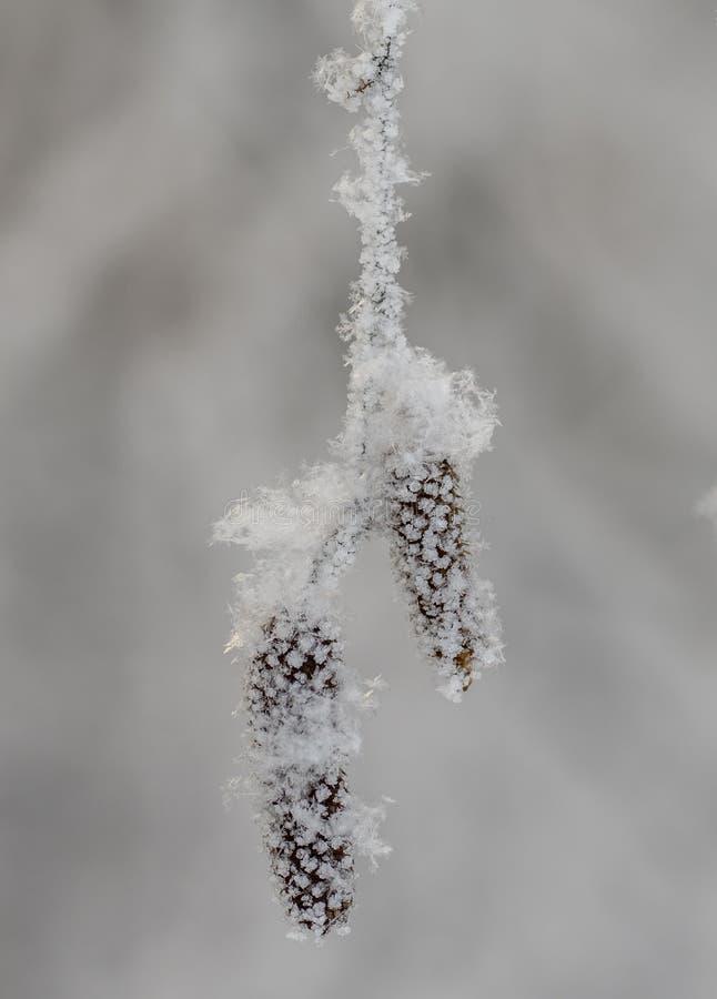Orecchini della betulla sotto la neve, gelo, natura, pianta, stagione fotografia stock libera da diritti