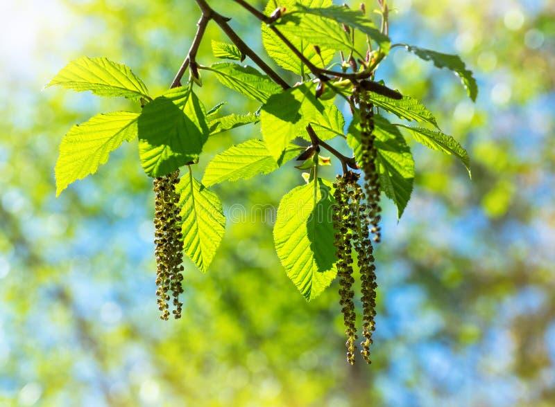 Orecchini sul ramo di albero fotografia stock