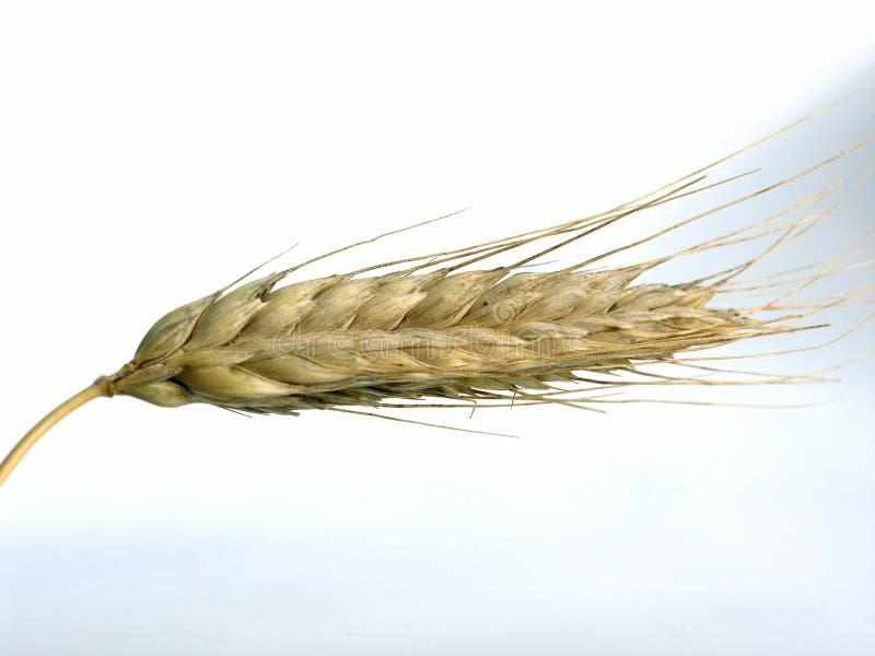 Download Orecchio fotografia stock. Immagine di wheaties, bounty - 203514