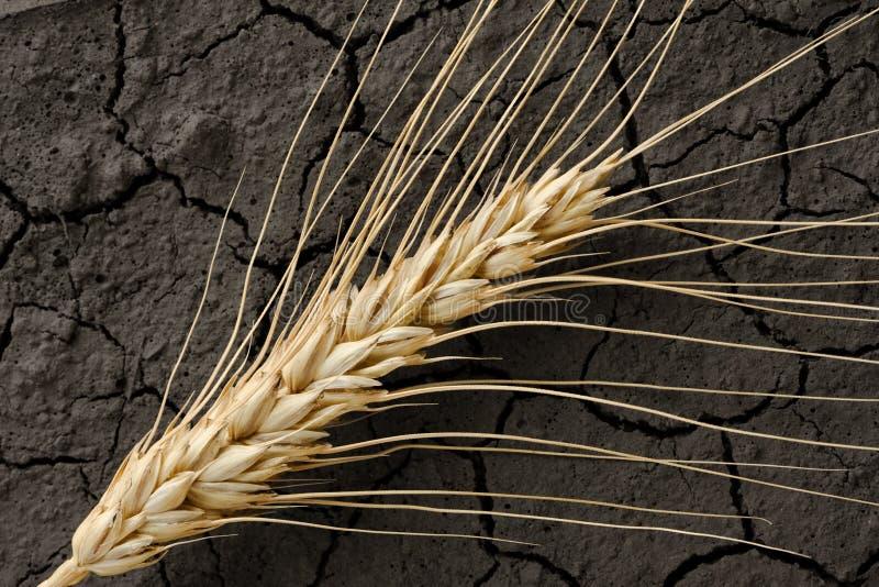 Orecchio arido del frumento e della terra immagini stock