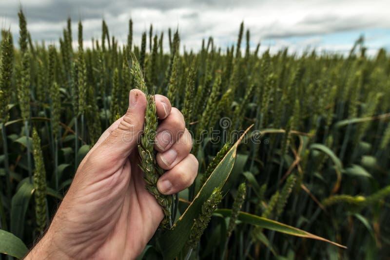Orecchio d'esame dell'agricoltore di grano fotografia stock