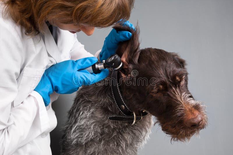 Orecchio d'esame veterinario del cane con l'otoscopio fotografie stock libere da diritti