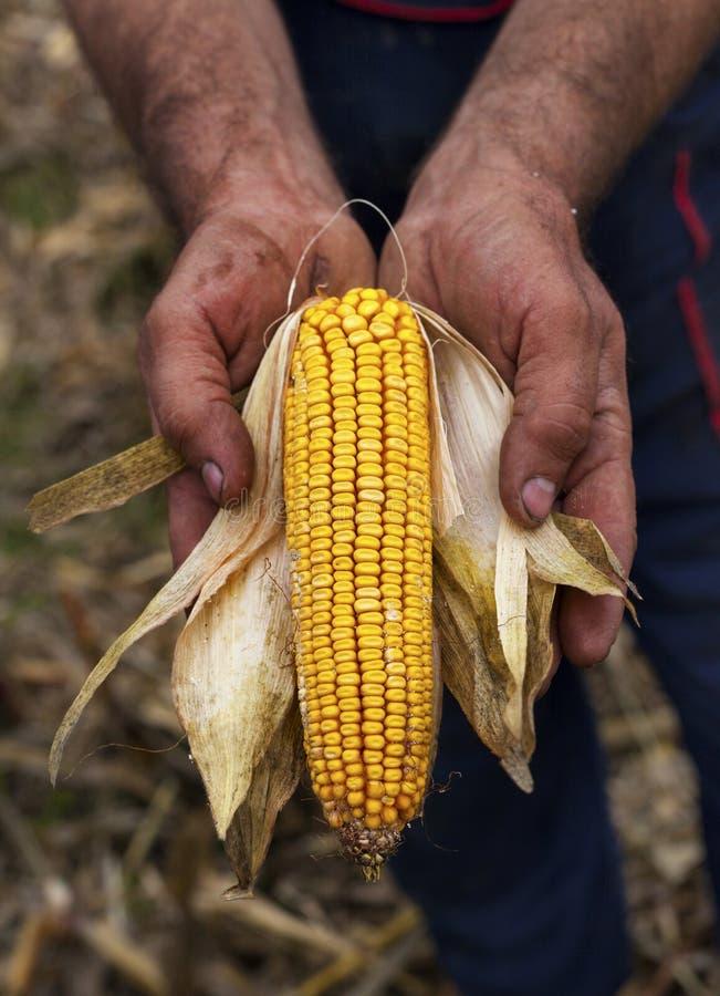 Orecchio del mais del cereale della tenuta fotografie stock libere da diritti