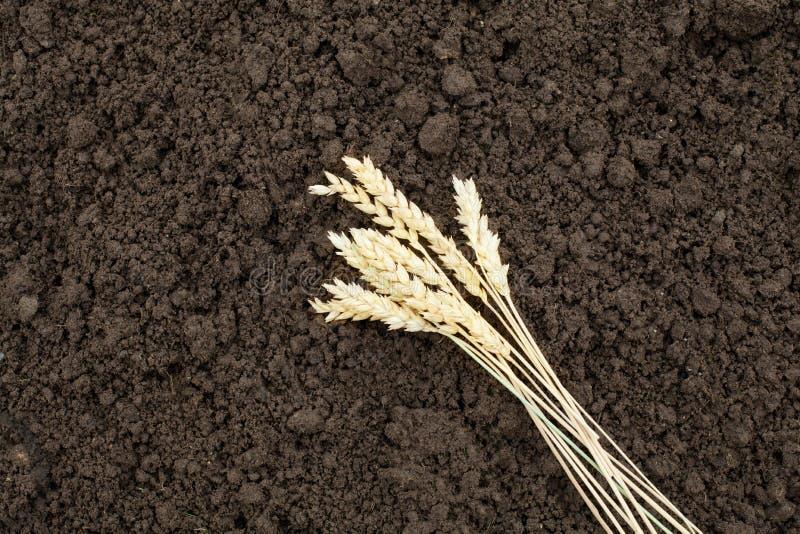 Orecchio della segale sul suolo del fondo Raccolga il cereale e l'orecchio su fondo marrone fotografia stock