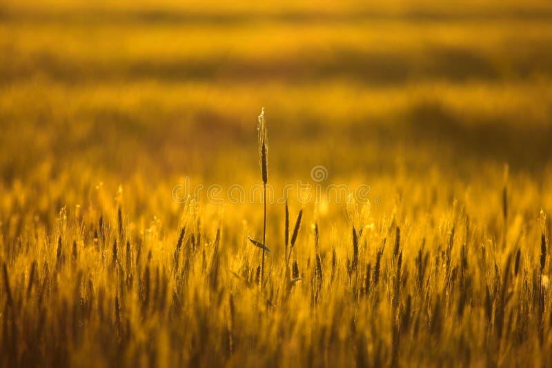 Orecchio di grano fotografie stock libere da diritti