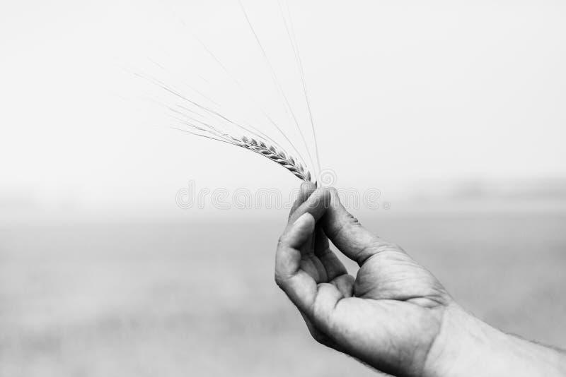 Orecchio di grano Primo piano immagine stock