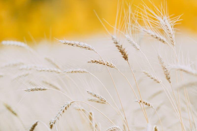 Orecchio di grano in un giacimento di grano fotografie stock