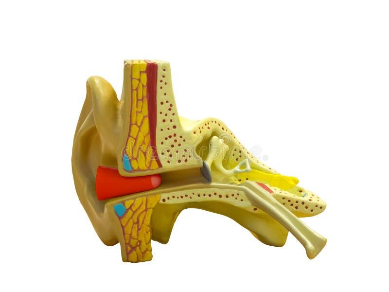 Orecchio di modello anatomico immagini stock