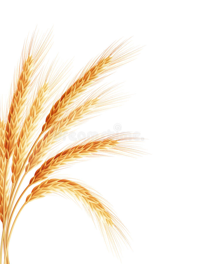 Orecchio dorato del grano dopo il raccolto ENV 10 royalty illustrazione gratis