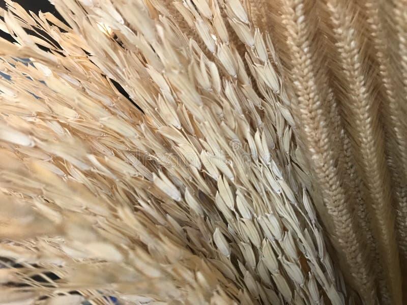 Orecchio marrone chiaro asciutto naturale di riso, del seme del riso, del grano del grano e della pianta del cereale fotografie stock