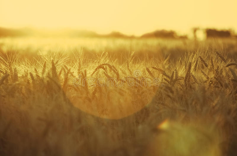 Orecchio maturo e asciutto di grano dorato nelle gocce dopo pioggia in un campo al tramonto immagini stock