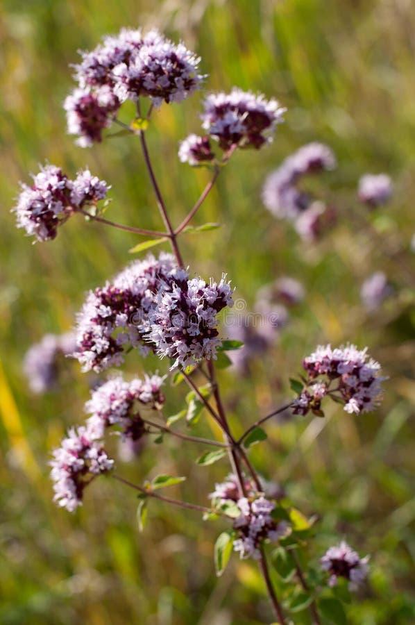 Oregano или майоран - целебная трава стоковое изображение rf