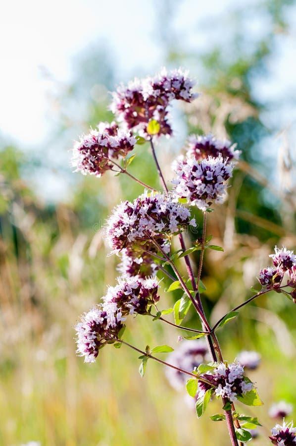 Oregano или майоран - целебная трава стоковое изображение