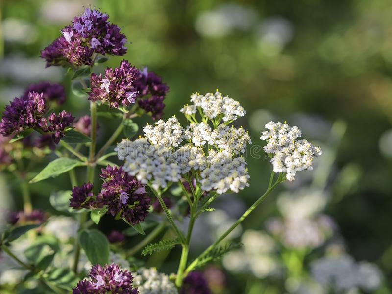 Oregano and common yarrow growing side by side stock photography