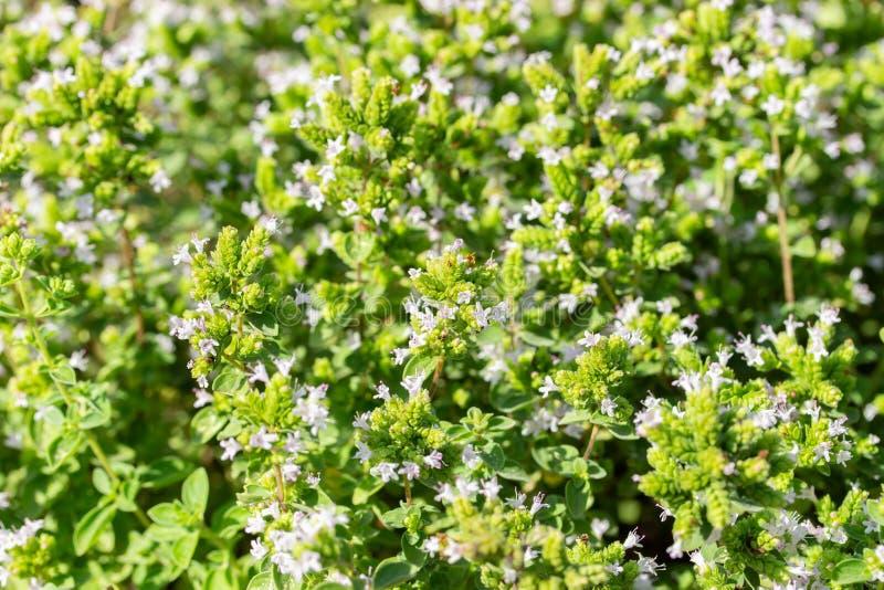 Oregano fleurit sur fond de feuillage vert Feuilles et fleurs d'Oregano, épices aromatiques frais naturels Contexte floral image libre de droits