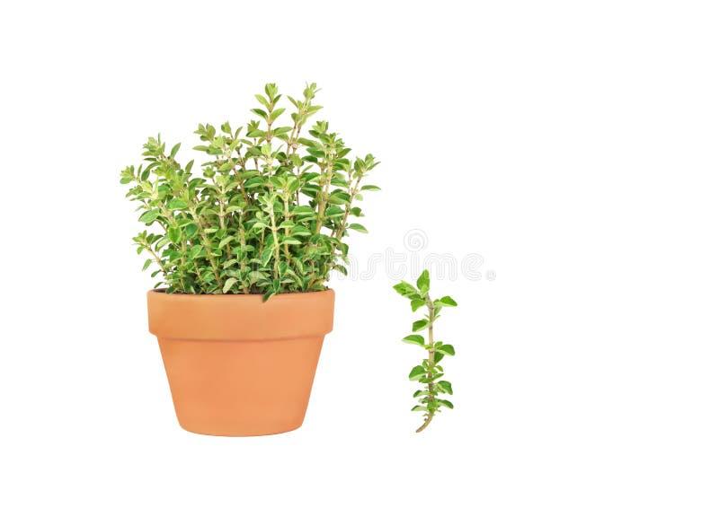Oregano Herb stock images