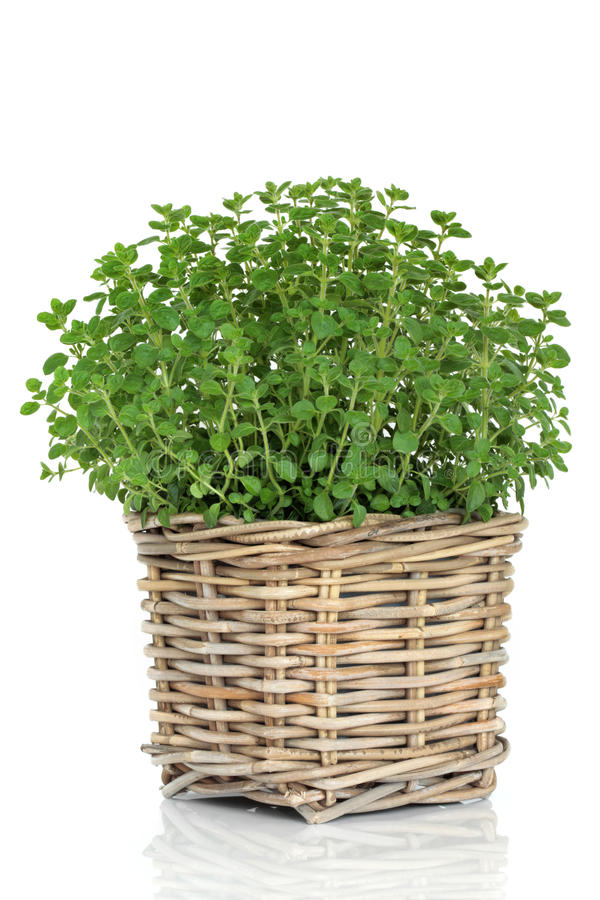 Oregano Herb Plant royalty free stock photos