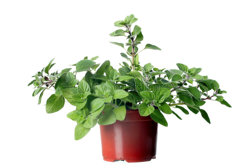 Oregano herb plant growing in the pot stock images