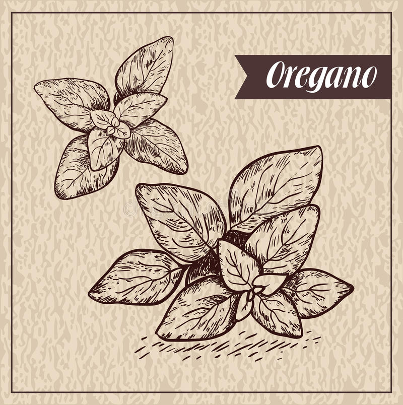 Download Oregano Herb And Spice Label. Engraving Illustrations For Tags. Stock Vector - Image: 83713184